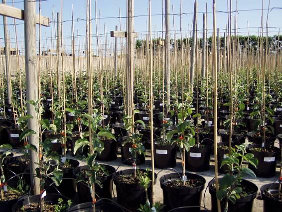 Træerne står i potter det første halve år inden de bliver plantet